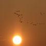 Grues cendrées au coucher de soleil