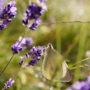 Papillon dans le lavandin